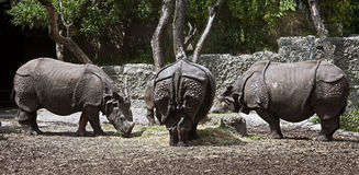 Great indian rhinoceros 2 Royalty Free Stock Photos