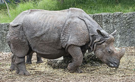 Great indian rhinoceros 14 Royalty Free Stock Photo