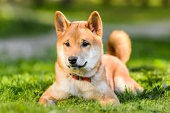 Portrait of Japanese Akita inu puppy lying on grass. Great Japanese Akita inu dog puppy lying on green grass in park royalty free stock photo