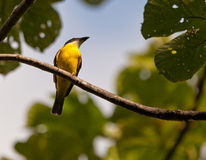 A Great Kiskadee Stock Image