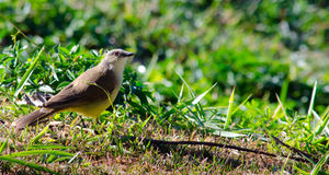 Great Kiskadee. A Great Kiskadee standing on grass Stock Image