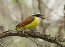 Great Kiskadee Royalty Free Stock Image