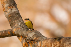 Great Kiskadee on Big Branch in Morning sunlight Royalty Free Stock Photo