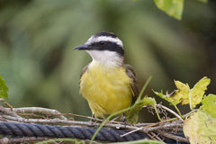 Great kiskadee, bird common in all Americas Stock Images