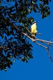 Great kiskadee bird sitting on a branch Royalty Free Stock Photos