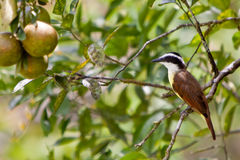 Great kiskadee bird sitting on a branch Stock Photography