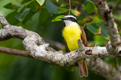 A Great Kiskadee Royalty Free Stock Photos