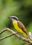 Great Kiskadee-CR Stock Images