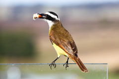 Great Kiskadee Royalty Free Stock Photography