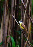 Great Kiskadee Royalty Free Stock Photos