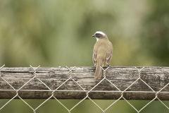 Great Kiskadee on Fence,Seen from the Back Stock Photography