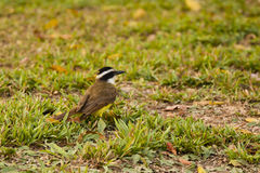 Great Kiskadee on Grass Stock Photo