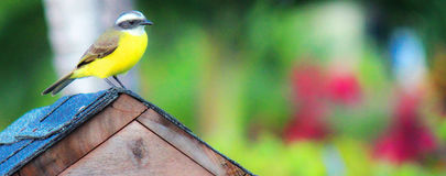 Great Kiskadee at Home in Costa Rica. Birds prevailed in Costa Rica; Color in Flight or at rest; Great Kiskadee Perched on a Home of its Own royalty free stock image