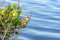 Great Kiskadee. Landed between branches over the Rodrigo de Freitas lagoon waters in Rio de Janero Royalty Free Stock Images