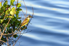 Great Kiskadee. Landed in a bush on the waters of the lagoon Rodrigo de Freitas Stock Photo