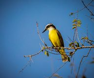 Great kiskadee looking left Royalty Free Stock Photo