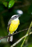 Great Kiskadee Stock Photography