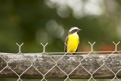 Great Kiskadee Perched on Fence Stock Photo
