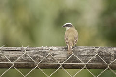 Great Kiskadee Perched Fence,Seen from the Back Stock Images
