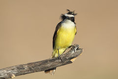 Great Kiskadee - Texas Stock Image