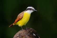 Great Kiskadee, Pitangus sulphuratus, bird from Costa Rica. Exotic tropic yellow tanager with white and black head, La Paz, Costa stock image