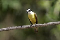 Great kiskadee, Pitangus sulphuratus Royalty Free Stock Photo