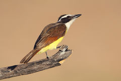 Great Kiskadee - Texas Royalty Free Stock Photography