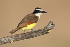 Great Kiskadee - Texas Royalty Free Stock Image