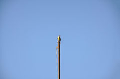 Great Kiskadee at the top of the mast Royalty Free Stock Images