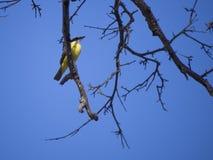 Great Kiskadee on a tree branch Stock Photo