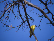 Great Kiskadee on a tree branch Stock Photos
