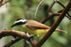 Great Kiskadee. The Great Kiskadee tropical bird found in Costa Rica Royalty Free Stock Photography