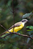 Great kiskadee Stock Photos