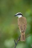 Great Kiskedee in Costa Rica Royalty Free Stock Photography