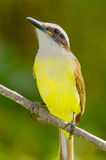 Great Kiskedee (Pitangus sulphuratus). In a branch stock image