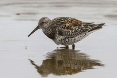 Great knot in shallow water which feeds the Stock Images