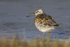 Great knot It stands on the bank of the little lake on a sunny Royalty Free Stock Photos