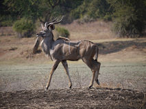 Great Kudu Royalty Free Stock Images