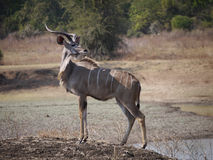 Great Kudu Royalty Free Stock Image
