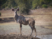 Great Kudu Royalty Free Stock Photography