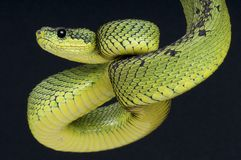 Great lakes viper / Atheris nitschei Stock Image