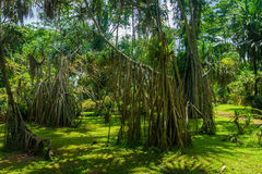 Great landscape with big tree with long dry roots photo taken in Kebun Raya Bogor Indonesia Royalty Free Stock Image