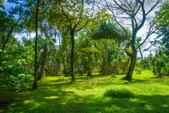 Great landscape with high and big tree completed with green grass photo taken in Kebun Raya Bogor Indonesia Stock Photos