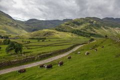 Great langdale pike countryside national park. Sheep grazing great langdale english countryside cumbria national park Royalty Free Stock Images