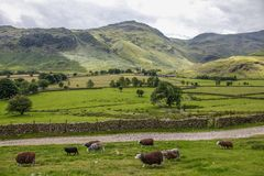Great langdale pike countryside national park. Sheep grazing great langdale english countryside cumbria national park Stock Photo