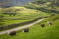 Great langdale pike countryside national park. Sheep grazing great langdale english countryside cumbria national park Stock Photography