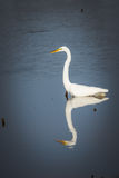 Great or large white egret hunting in the water with reflection. White egret part way in the water with a  perfect reflection of itself while hunting food Royalty Free Stock Image