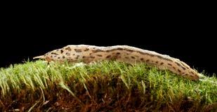 Great Leopard Slug Royalty Free Stock Photos