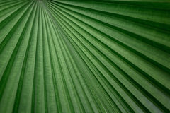 Great line of Fiji Fan Palm Royalty Free Stock Photos