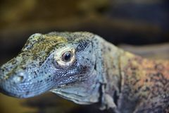 The great lizard comodo dragon royalty free stock photography